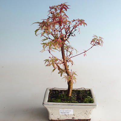 Outdoor bonsai - Acer palmatum Butterfly VB2020-697 - 3