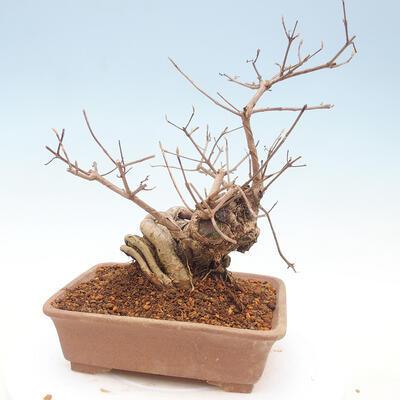 Bonsai im Freien - schöne Callicarpa - 3