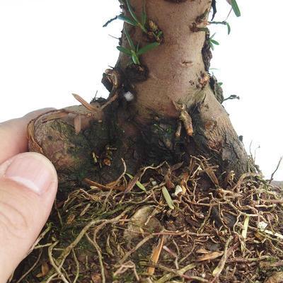 Bonsai im Freien - Taxus bacata - Rote Eibe - 3