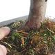 Bonsai im Freien - Taxus bacata - Rote Eibe - 3/3