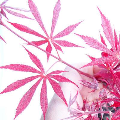 Outdoor Bonsai - Acer Palme. Atropurpureum-rotes Palmblatt - 3