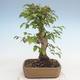 Bonsai im Freien - Carpinus CARPINOIDES - Koreanische Hainbuche - 3/5