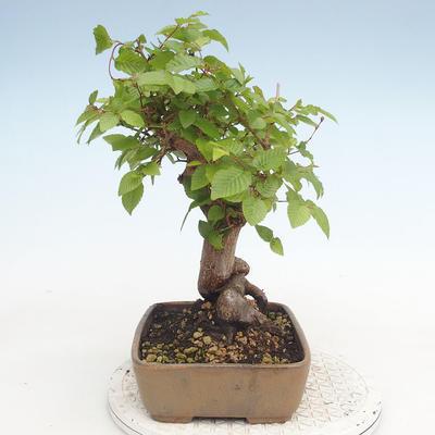 Bonsai im Freien - Carpinus CARPINOIDES - Koreanische Hainbuche - 3