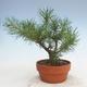 Bonsai im Freien - Pinus Sylvestris - Waldkiefer - 3/3