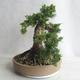 Bonsai im Freien - Juniperus chinensis - chinesischer Wacholder - 3/5
