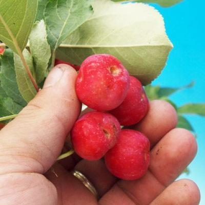 Outdoor-Bonsai -Malus Halliana - fruited Apfel - 3