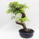 Indoor Bonsai -Phyllanthus Niruri- Smuteň - 3/6