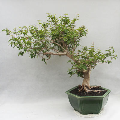 Indoor Bonsai - Australische Kirsche - Eugenia uniflora - 3
