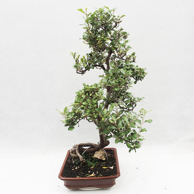Indoor Bonsai -Eleagnus - Hlošina - 3