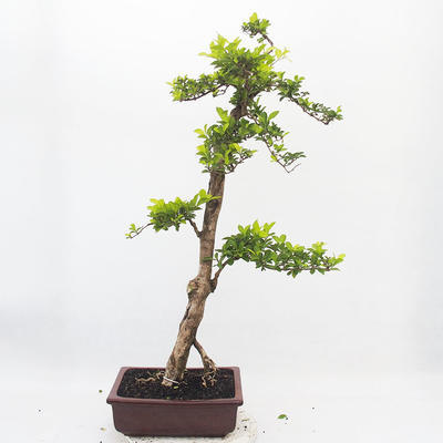 Indoor-Bonsai - Duranta erecta Aurea - 3