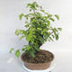 Outdoor Bonsai -Mahalebka - Prunus Mahaleb - 3/5