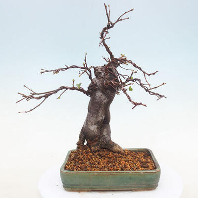 Bonsai im Freien - Pseudocydonia sinensis - Chinesische Quitte - 3