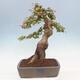 Bonsai im Freien - Pseudocydonia sinensis - Chinesische Quitte - 3/7