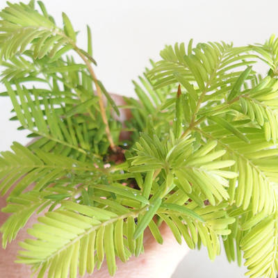 Bonsai im Freien - Metasequoia glyptostroboides - Chinesische Metasequoia VB2020-814 - 3