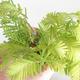 Bonsai im Freien - Metasequoia glyptostroboides - Chinesische Metasequoia VB2020-814 - 3/3