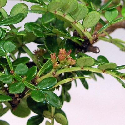 Indoor-Bonsai - Zantoxylum piperitum - Pfefferbaum - 3