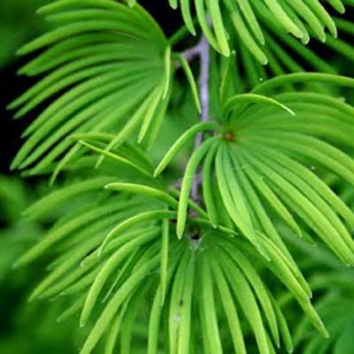 Outdoor Bonsai -Pseudolarix amabis-Pamodřín - 3