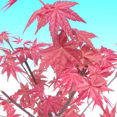 Outdoor-Bonsai - Ahorn palmatum DESHOJO - Maple dlanitolistý - 3