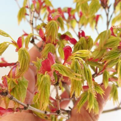 Acer palmatum Aureum - Japanischer Ahorn VB2020-469 - 4