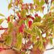 Acer palmatum Aureum - Japanischer Ahorn VB2020-469 - 4/4