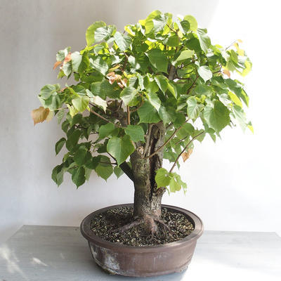 Bonsai im Freien - Linden - Tilia cordata - 4