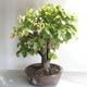 Bonsai im Freien - Linden - Tilia cordata - 4/5