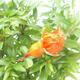 Zimmer Bonsai-PUNICA Granatum Nana-Granatapfel - 4/4