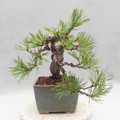 Bonsai im Freien - Pinus sylvestris - Waldkiefer - 4