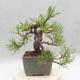 Bonsai im Freien - Pinus sylvestris - Waldkiefer - 4/5