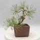 Bonsai im Freien - Pinus sylvestris - Waldkiefer - 4/4