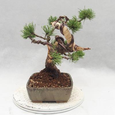 Bonsai im Freien - Pinus Mugo - kniende Kiefer - 4