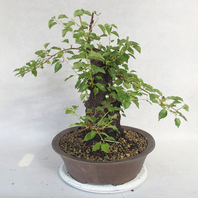 Outdoor Bonsai -Mahalebka - Prunus Mahaleb - 4
