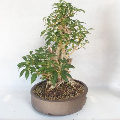 Bonsai im Freien - Forsythie - Forsythie - 4