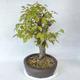 Bonsai im Freien - Hainbuche - Carpinus betulus - 4/5