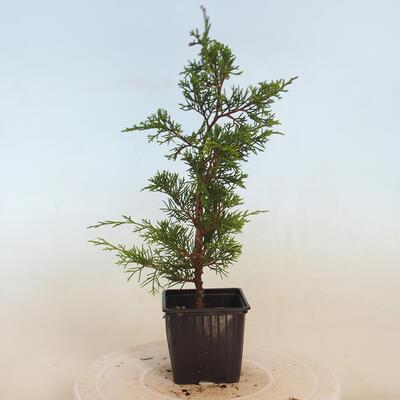 Bonsai im Freien - Hainbuche - Carpinus betulus - 4