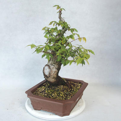 Outdoor Bonsai-Ulmus Glabra-Massiver Ton - 4