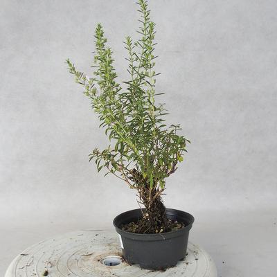 Bonsai im Freien - Berg Satureja - Satureja montana - 4