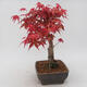 Bonsai im Freien - Maple palmatum DESHOJO - Japanischer Ahorn - 4/5
