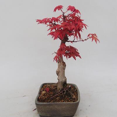Bonsai im Freien - Maple palmatum DESHOJO - Japanischer Ahorn - 4