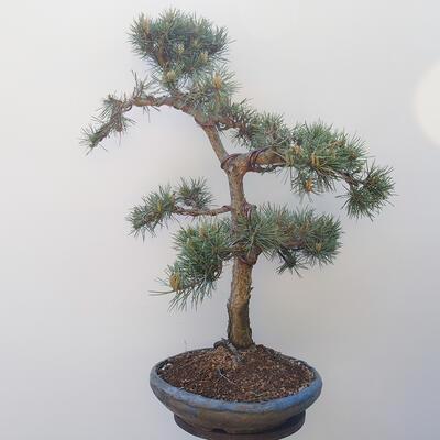 Outdoor-Bonsai - Pinus sylvestris Watereri - Waldkiefer - 4