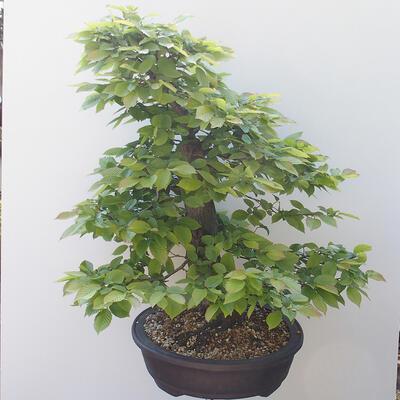 Outdoor-Bonsai - Hainbuche - Carpinus betulus - 4