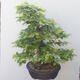 Outdoor-Bonsai - Hainbuche - Carpinus betulus - 4/5