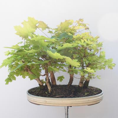 Acer campestre, acer platanoudes - Babyahorn, Ahorn - 4