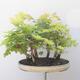 Acer campestre, acer platanoudes - Babyahorn, Ahorn - 4/4