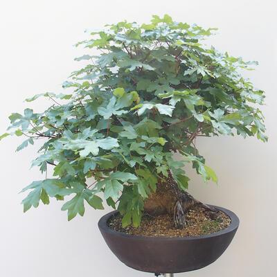 Acer campestre - Baby-Ahorn - 4