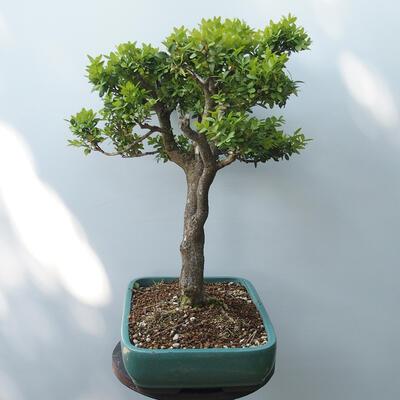 Outdoor-Bonsai - Buchsbaum - 4