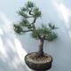 Outdoor-Bonsai - Pinus sylvestris Watereri - Waldkiefer - 4/5