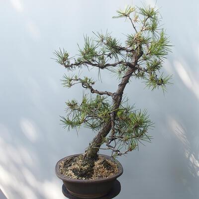 Outdoor-Bonsai - Pinus sylvestris - Waldkiefer - 4