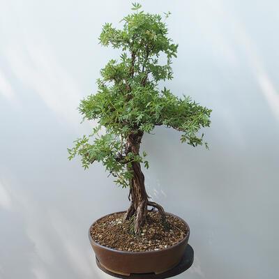 Outdoor-Bonsai - Fingerkraut - Potentila fruticosa gelb - 4