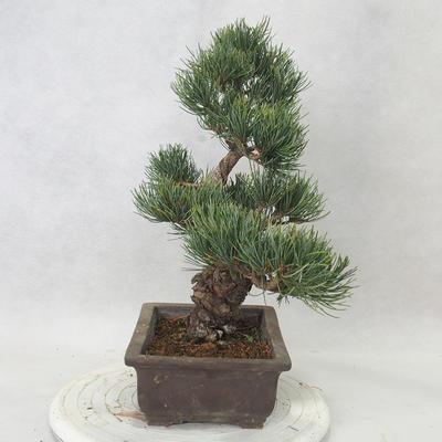 Bonsai im Freien - Pinus parviflora - kleinblumige Kiefer - 4